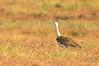 Australian Bustard - Ardeotis australis (Julia Creek, Qld)