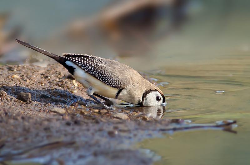 Double-barred Finch - Taeniopygia bichenovii bichenovii - white-rumped race (Boodjamulla [Lawn Hill] NP, Qld)