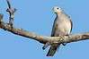 Peaceful Dove - Geopelia striata (Lake Moondara, Mt Isa, Qld)
