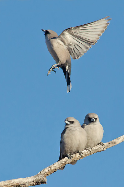 Black-faced Woodswallow - Artamus cinereus (race normani), (Bladensburg NP, Qld)