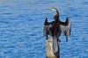 Australasian Darter - Anhinga novaehollandiae (Lake Moondara, Mt Isa, Qld)
