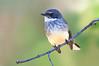 Northern Fantail - Rhipidura rufiventris (Boodjamulla NP [Lawn Hill], Qld)
