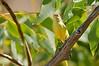 Weebill - Smicrornis brevirostris flavescens (Boodjamulla NP [Lawn Hill] Qld)