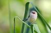 Purple-crowned Fairy-wren (f) (Boodjamulla NP [Lawn Hill], Qld)