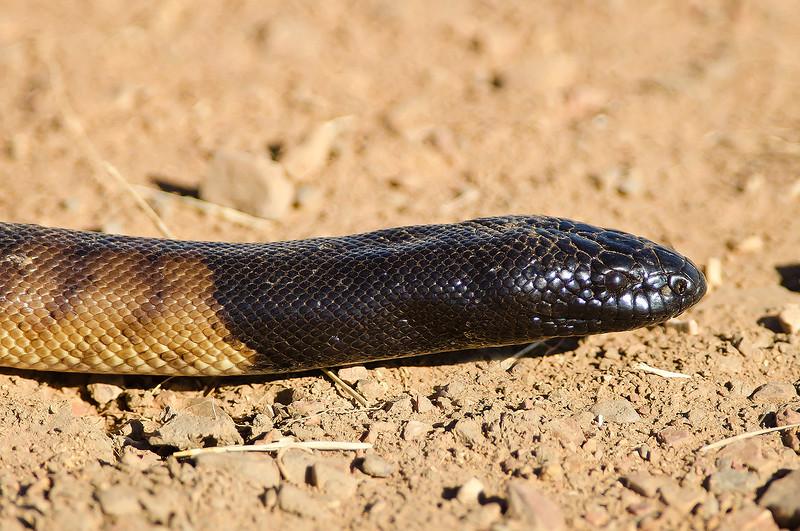 Black-headed Python - Aspidites melanocephalus (Boodjamulla NP [Lawn Hill] Qld)