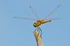 Dragonfly spp (Lake Moondara, Mt Isa, Qld)