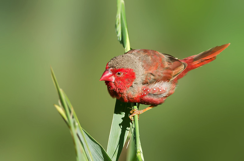 Crimson Finch - Neochmia phaeton phaeton (m) Black-bellied race, (Boodjamulla [Lawn Hill] NP, Qld)
