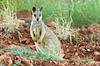 Purple-necked Rock-wallaby - Petrogale purpureicollis (Chinaman Creek Dam, Cloncurry, Qld)