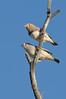 Zebra Finch - Taeniopygia guttata - (Bladensburg NP, Qld)