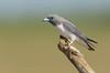 White-breasted Woodswallow - Artamus leucorynchus (Gregory, Qld)