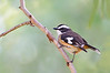 Buff-sided Robin - Poecilodryas cerviniventris (Boodjamulla NP [Lawn Hill], Qld)