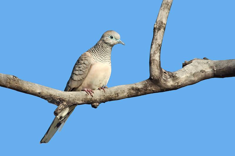 Peaceful Dove - Geopelia striata (Lake Moondara, Mt Isa, Qld)