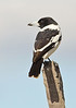 Pied Butcherbird - Cracticus nigrogularis (Lake Moondara, Mt Isa, Qld)