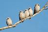 Black-faced Woodswallow - Artamus cinereus (race normani), (Bladensburg NP, Qld)