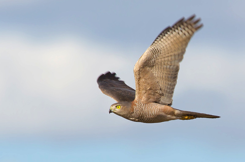 Brown Goshawk - Accipiter fasciatus (Lake Moondara, Mt Isa, Qld)