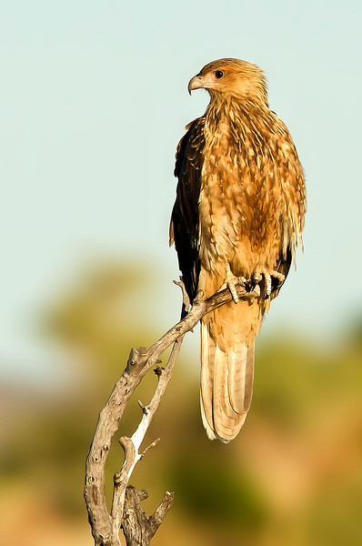 Whistling Kite - Haliastur sphenurus (Lake Moondara, Mt Isa, Qld)