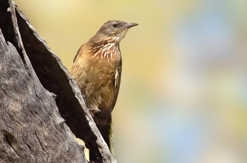 Black-tailed Treecreeper - Climacteris melanura (f) (Mica Creek, Mt Isa, Qld)