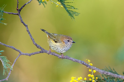 Striated Thornbill - Acanthiza lineata (Sherbrooke, Vic)