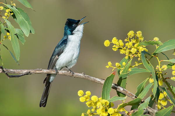 Restless Flycatcher - Myiagra inquieta (You Yangs, Vic)