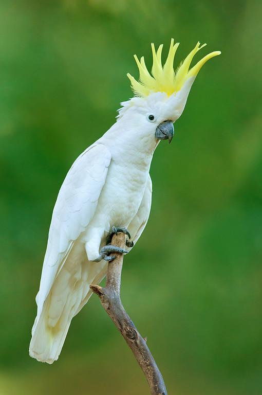 Sulphur-crested Cockatoo - Cacatua galerita (Sherbrooke, Vic)
