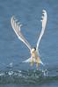 Fairy Tern - Sternula nereis (Western Treatment Plant, Vic)