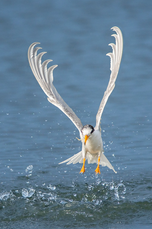 Fairy Tern - Sternula nereis (Western Treatment Plant, Vic)