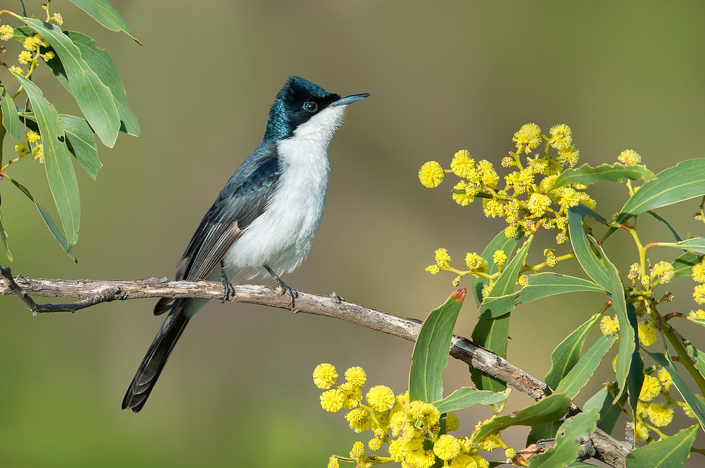 Restless Flycatcher - Myiagra inquieta (You Yangs, Vic)