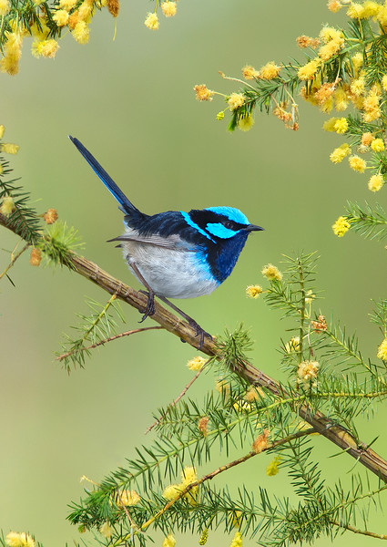Superb Fairywren - Malurus cyaneus (Park Orchards, Vic)