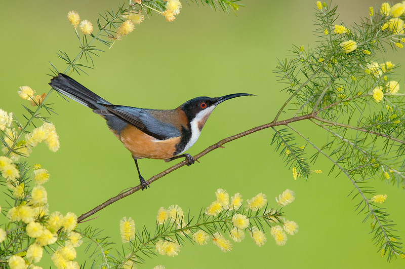Eastern Spinebill - Acanthorhynchus tenuirostris (m) (Park Orchards, Vic)