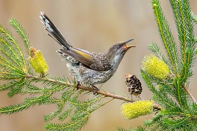 Little Wattlebird - Anthochaera chrysoptera (Phillip Is., Victoria)