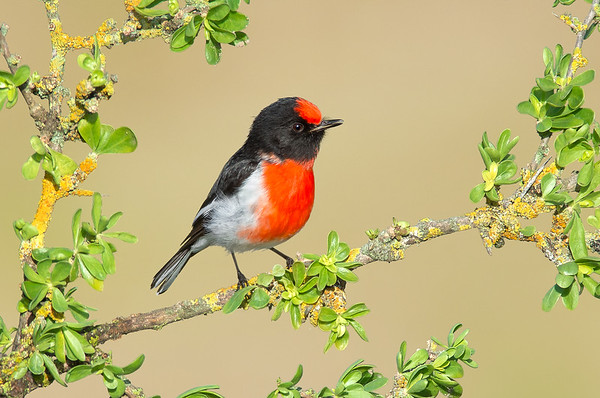 Red-capped Robin – Petroica goodenovii (Melbourne, Victoria)