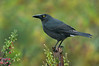 Black Currawong - Strepera fuliginosa (Cradle Valley, Tasmania)
