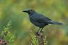 Black Currawong - Strepera fuliginosa (Cradle Valley, Tasmania)