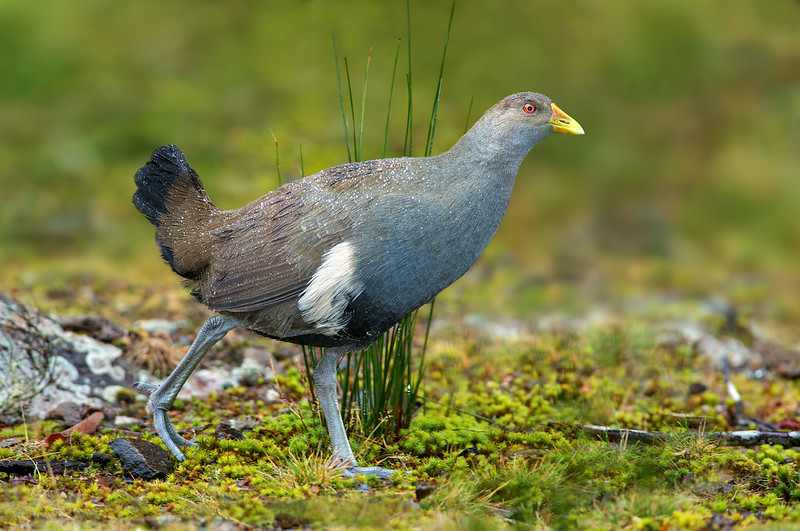 Tasmanian Nativehen - Tribonyx mortierii (Cradle Valley, Tasmania)
