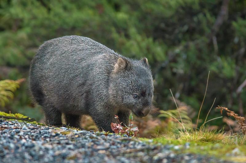 Common Wombat - Vombatus ursinus (Cradle Valley, Tasmania)