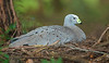 Cape Barren Goose - Cereopsis novaehollandiae (nesting) (Mole Creek, Tasmania)