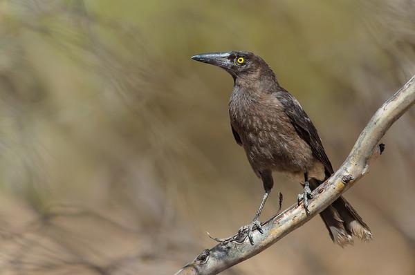 "Grey Currawong - Strepera versicolor melanoptera ""Black-winged Currawong"" (Wyperfeld NP, Vic)"