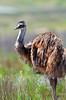 Emu - Dromaius novaehollandiae (Flinders Ranges, SA)