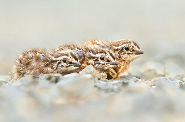 Stubble Quail - Coturnix pectoralis (juv) - (Walkerville South, Vic)