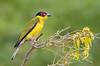 Australasian Figbird - Sphecotheres vieilloti (m) (Clifton Beach, Qld)