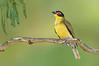 Australasian Figbird - Sphecotheres vielloti (Newell Beach, Qld)