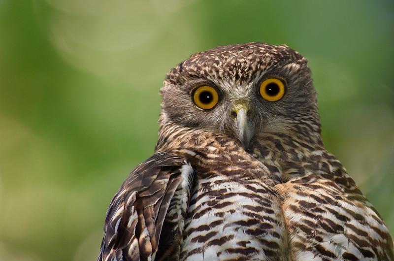 Powerful Owl - Ninox strenua (Glen Waverley, Vic)