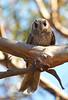 Australian Owlet-Nightjar - Aegotheles cristatus (Tresco West, Vic)