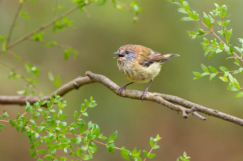 Striated Thornbill - Acanthiza lineata (Bald Hills Wetland Reserve, Vic)