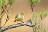 Buff-rumped Thornbill - Acanthiza reguloides (Bells Beach, Vic)