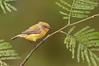 Yellow Thornbill - Acanthiza nana (You Yangs Regional Park, Vic)