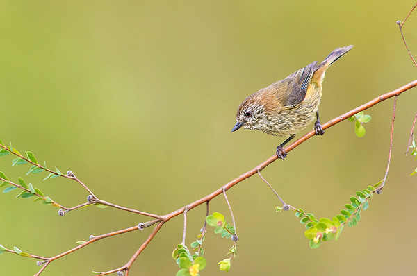 Striated Thornbill - Acanthiza lineata (Lysterfield, Vic)