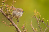 Brown Thornbill - Acanthiza pusilla (Cape Liptrap Coastal Park, Vic)
