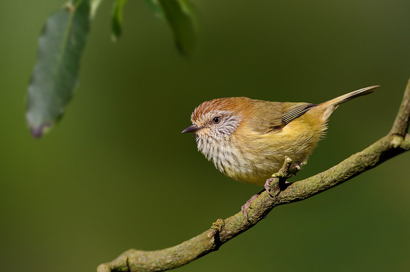 Striated Thornbill - Acanthiza lineata (Yarra Flats, Vic)