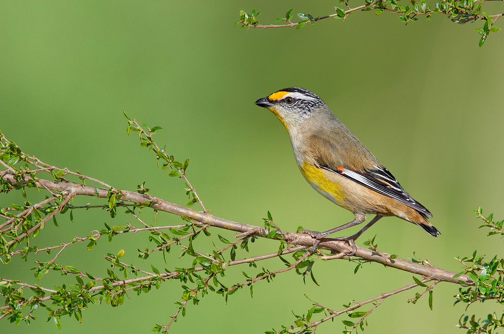Striated Pardalote - Pardalotus striatus ornatus (Surrey Hills, Vic)